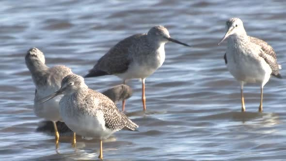 Thumbnail for Greater Yellowlegs Adult Immature Flock Many Grooming Cleaning Preening in Autumn