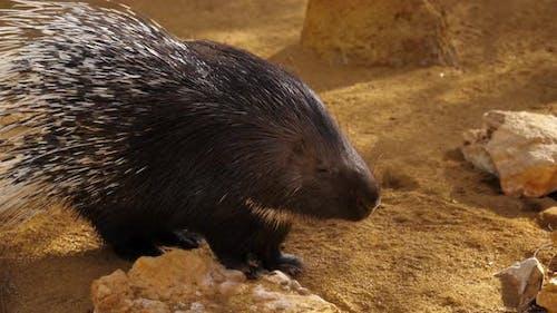 Slow Motion Hedgehog