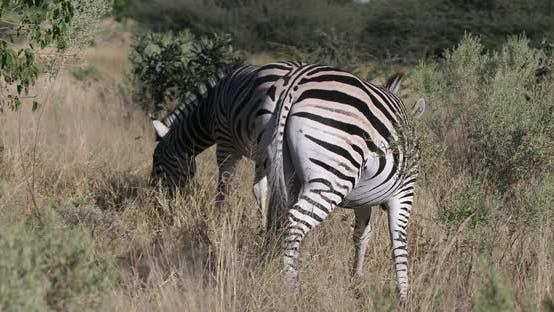 Cover Image for Zebra in bush, Namibia Africa wildlife