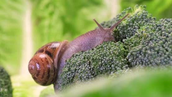 Garden snail crawling on green broccoli