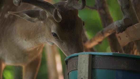 Brown Dappled Deer Eats From Green Bucket in Forest Closeup