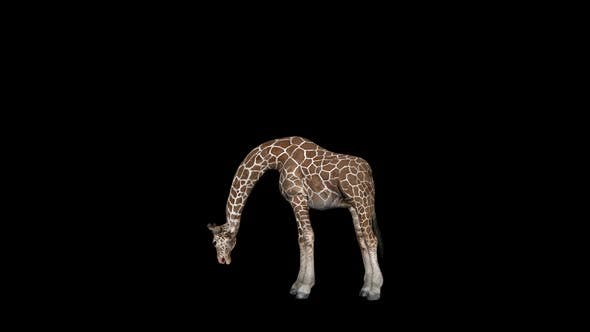 Thumbnail for Giraffe Eat Grass
