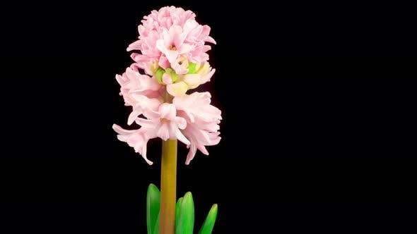Thumbnail for Wachsende und öffnende rosa Hyazinthe Blume auf schwarzem Hintergrund