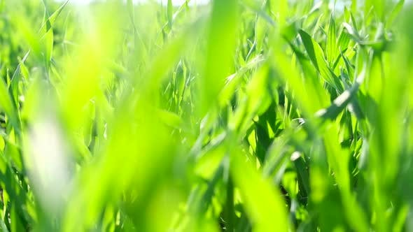Green Grass Close Up Blurred Effect of Green Grass