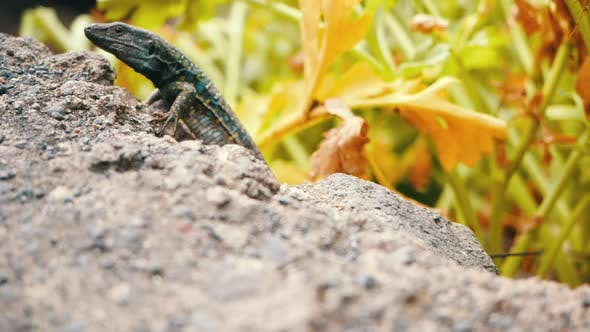 Thumbnail for Famous Canary Lizard Galottia Galloti, Living on Island of Tenerife with Yellow and Blue Spots, Runs