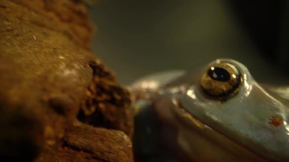 Australian Green Tree Frog Sitting Against Wooden Snag in Black Background
