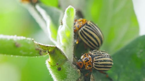 Two Colorado Striped Beetles  Leptinotarsa Decemlineata