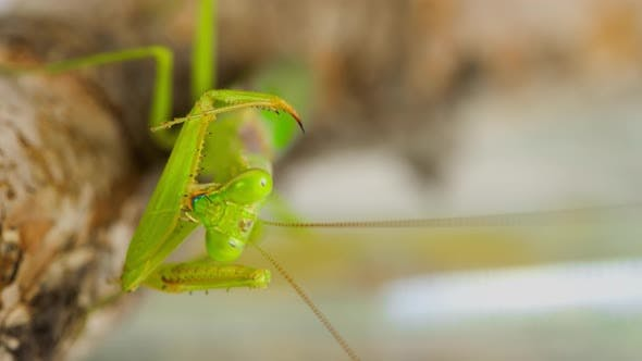 Macro shot of a Praying Mantis cleaning themselves
