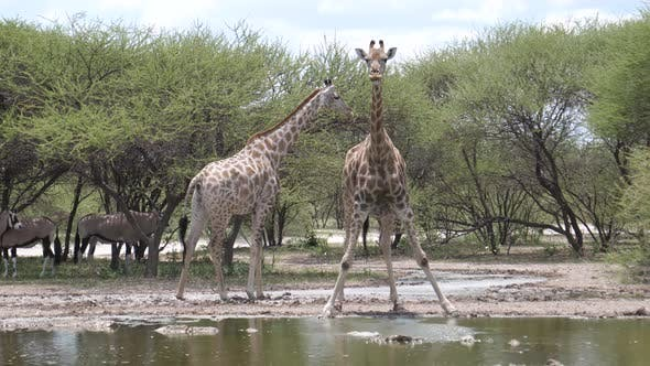 Thumbnail for Two giraffe at a waterpool