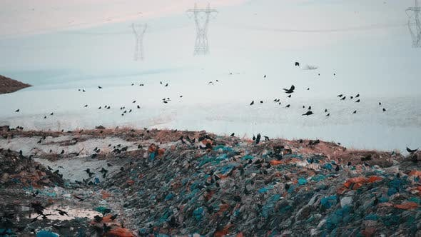 Crows Looking For Food in the Dump
