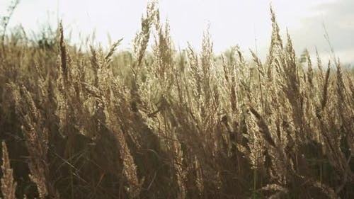 Beautiful View of High Golden Wild Grass Blowing Light on Sundazzling Background