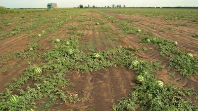 Ripe Watermelons on a Watermelon Field