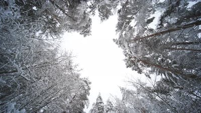 The Tops of the Trees of the Winter Forest