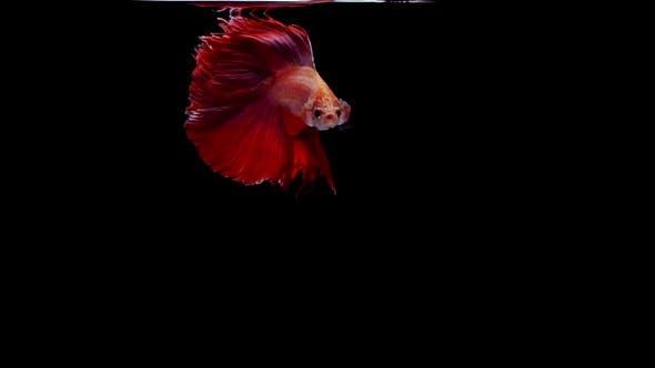 Thumbnail for Siamese Fighting Fish Betta Splendens