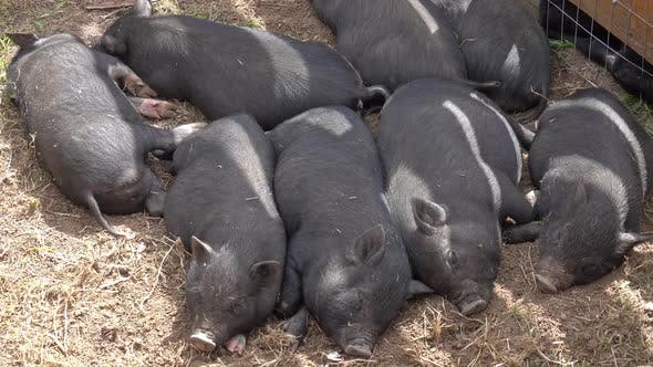 Cover Image for Sleeping Black Little Fun Piglets