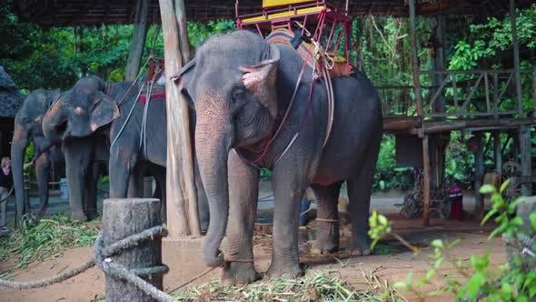 Thumbnail for elephant farm in Asia, travelers and tourists ride elephants through the jungle, safari