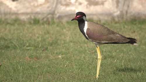 Red-wattled Lapwing Adult Lone Standing in Spring Lawn in India
