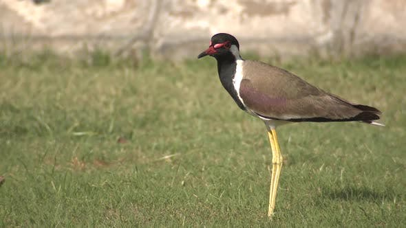 Thumbnail for Red-wattled Lapwing Adult Lone Standing in Spring Lawn in India