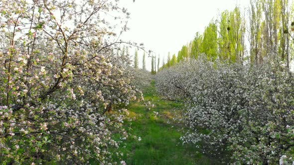 Thumbnail for Flying Between Branches of Flowering Trees in Apple Orchard, Drone Shot