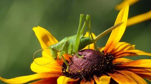 Locust Grasshopper