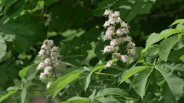 Thumbnail for White Chestnut Flowers Against the Background of Lush Green Leaves