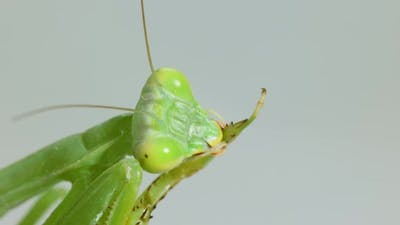 Closeup Praying Mantis On Gray Background
