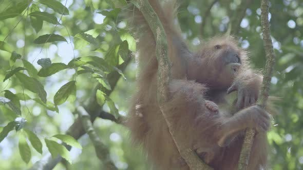 Thumbnail for Orangutan Hanging on The Trees