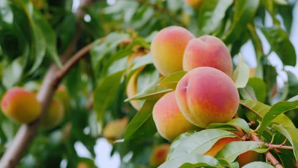 Thumbnail for Several Juicy Peaches Ripen on a Tree