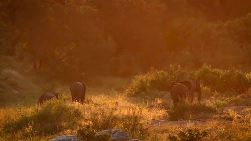 Afrikanischer Buschelefant im Krüger-Nationalpark, Südafrika