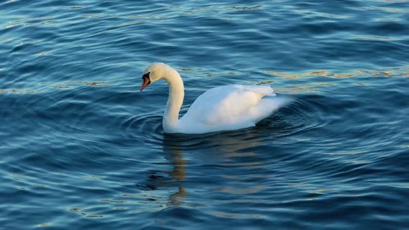 Thumbnail for White Swan Floating Smoothly along the Water Surface
