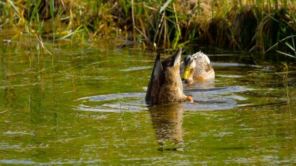 Thumbnail for Mallard Duck Diving