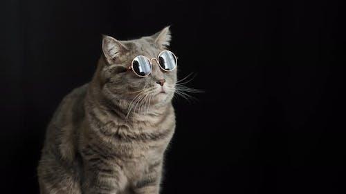 The cat in black sun glasses, breed Scottish straight