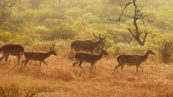 Thumbnail for Chital or Cheetal, Also Known As Spotted Deer, Chital Deer, and Axis Deer