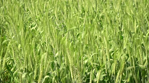 Thumbnail for Green Barley Field