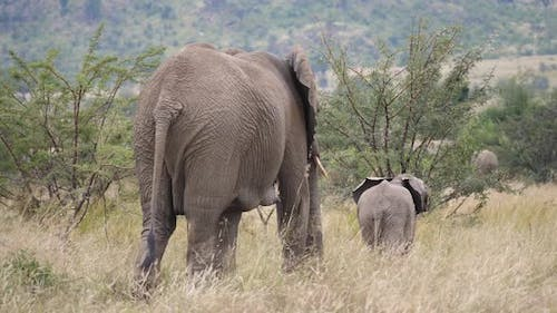 Baby elephant walking in front of his mother