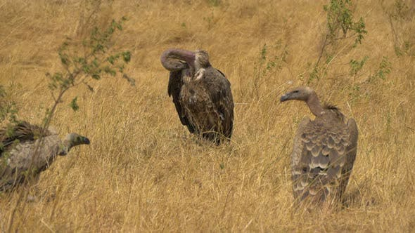 Thumbnail for Vultures cleaning their feathers