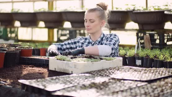 Thumbnail for Agriculture - Female Gardener Working with Flowers Seedlings in Greenhouse