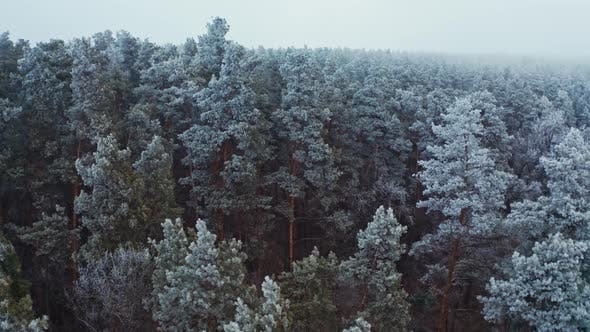 Thumbnail for Flying Over Beautiful Pine Trees in Winter.