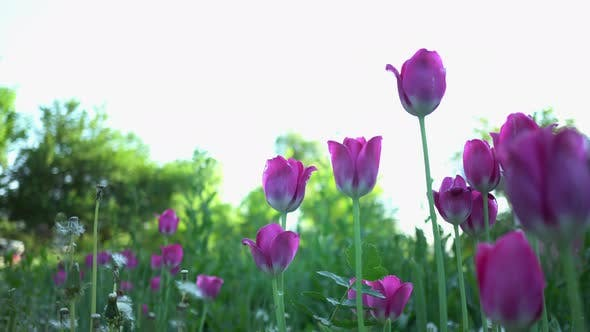 Thumbnail for Purple Tulips In The Summer