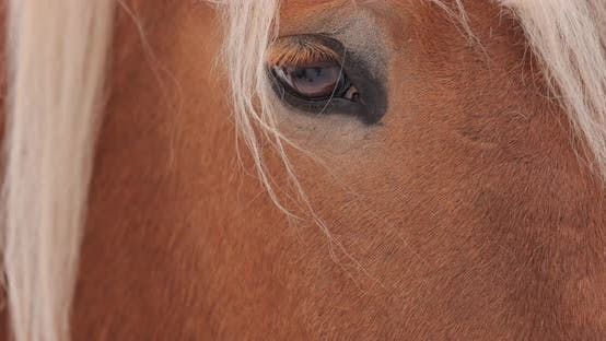 Brown Horse Eyes and Head Close Up