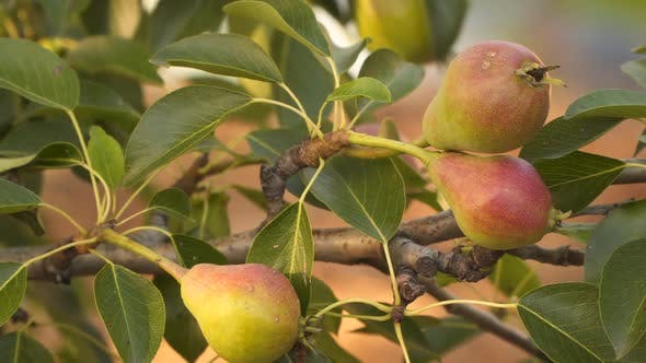 Red-green pears on a branch against the background of foliage