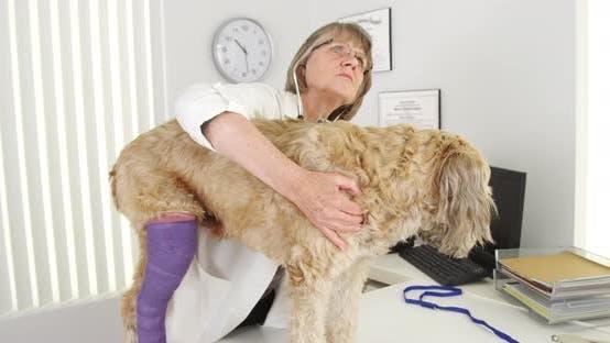Thumbnail for Senior vet listening to wheaten terrier dog heart