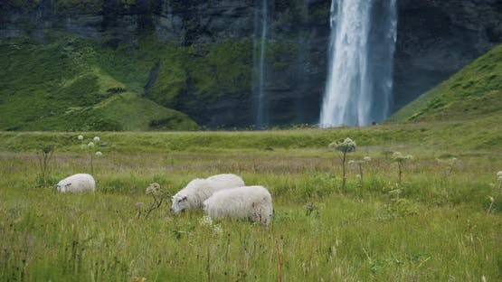 Iceland Sheeps in Meadow with Beautiful Seljalandsfoss Waterfall in Defocused Background