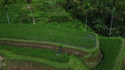 Farmer Collects Rice on Beautiful Rice Terrace