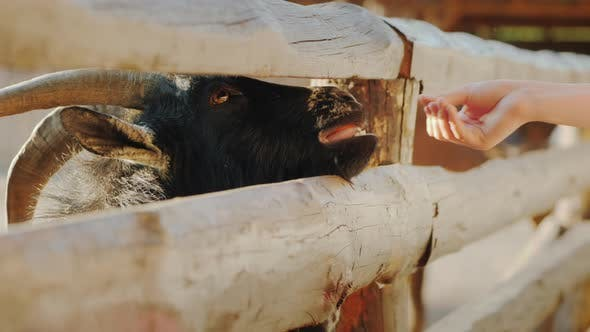 Thumbnail for The Child Gives a Treat To a Cool Black Goat, Who Sticks His Head Through the Crack of the Fence