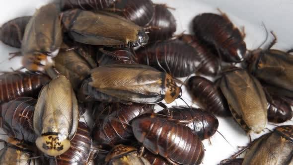 Crawling Cockroaches Closeup Top View