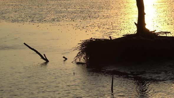 Thumbnail for Sunset view of mangrove tree root