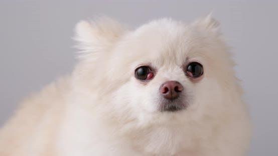 Thumbnail for Cute pomeranian dog