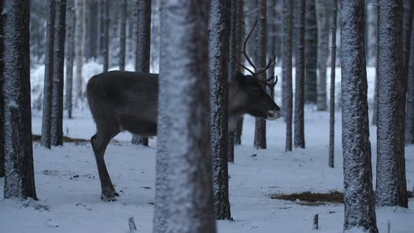 One Noble Deer Standing and the Second Running in a Dense Pine Forest at a Road