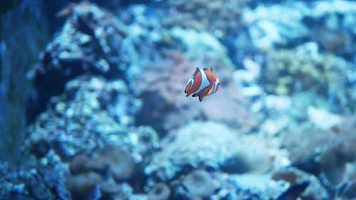 Clown Fish or Anemone Fish in the Blue Aquarium